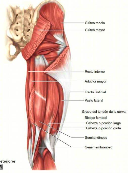 Results for Tendón Dela Corva Anatomia